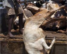 Cow Trafficking