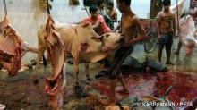 indian-cow-in-slaughterhouse